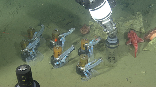 a deep-sea fish looks on as scientists conduct experiments on the seafloor