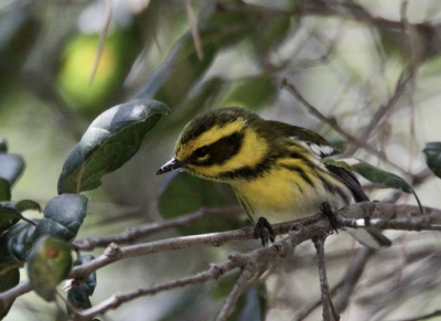 Photo of Townsend's Warbler on Oxy's Campus