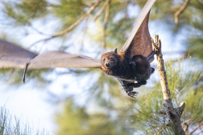 Bat in flight with trees in the background