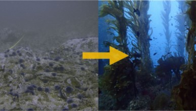 New Occidental study provides new hope for kelp beds devastated by sea urchins