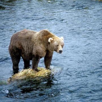 A bear standing in the river