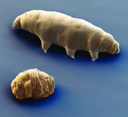 Tardigrade against a blue background