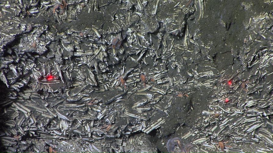 fossilized serpulids