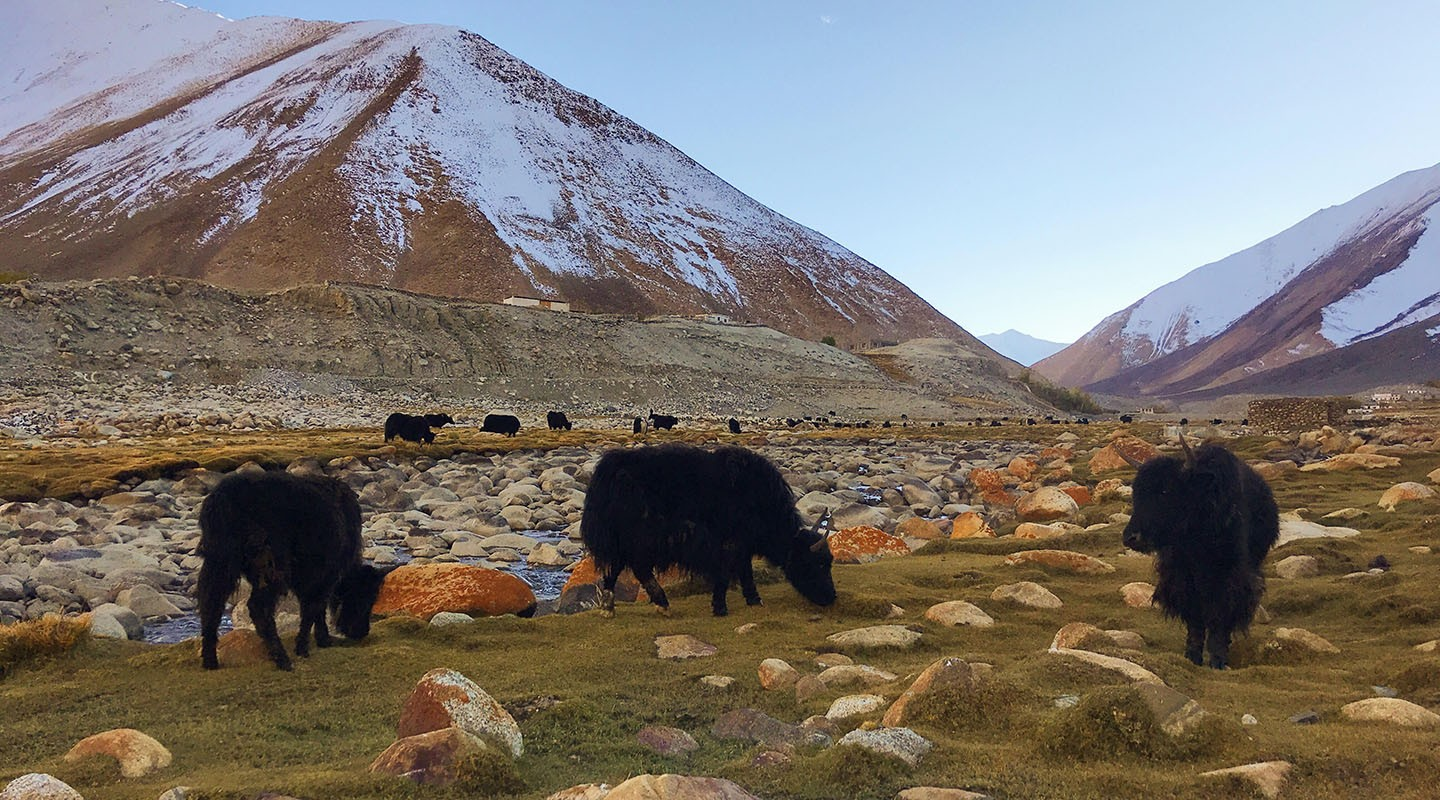 A scene of yaks in a meadow in the Himalayas, Nepal