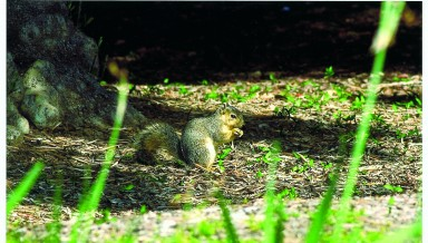 A fox squirrel on the Occidental College campus in 2001.