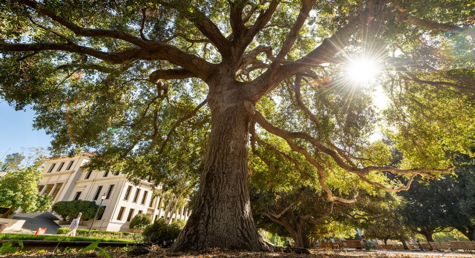 Oxy oak trees