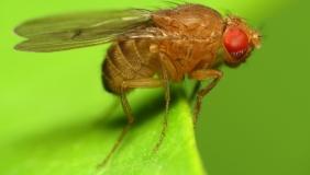 Drosophila on plant