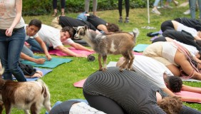 Goat Yoga on the Occidental campus