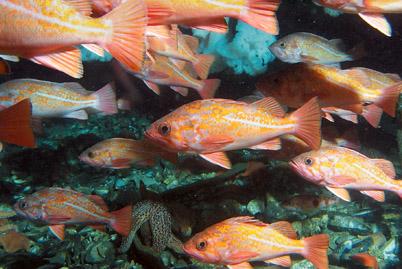 news_rockfish